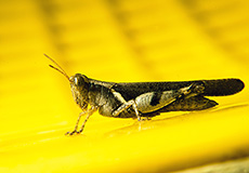 grasshopper-thumb
